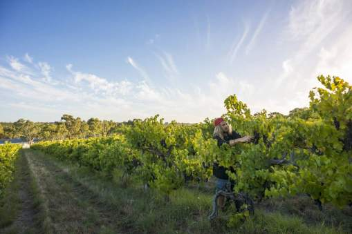 Pruning time in the Vines